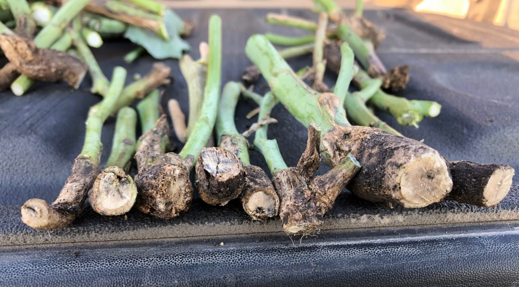 Blackleg- infected canola stems