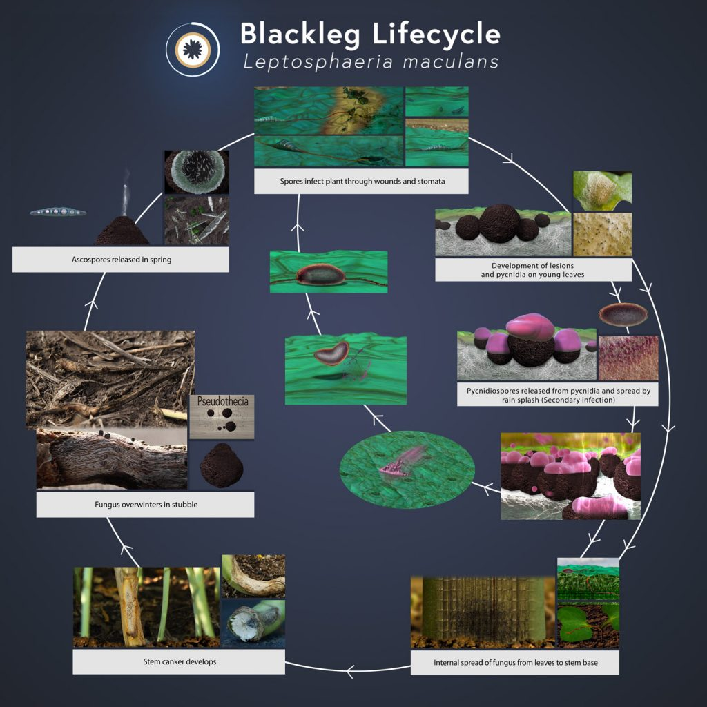 Blackleg lifecycle