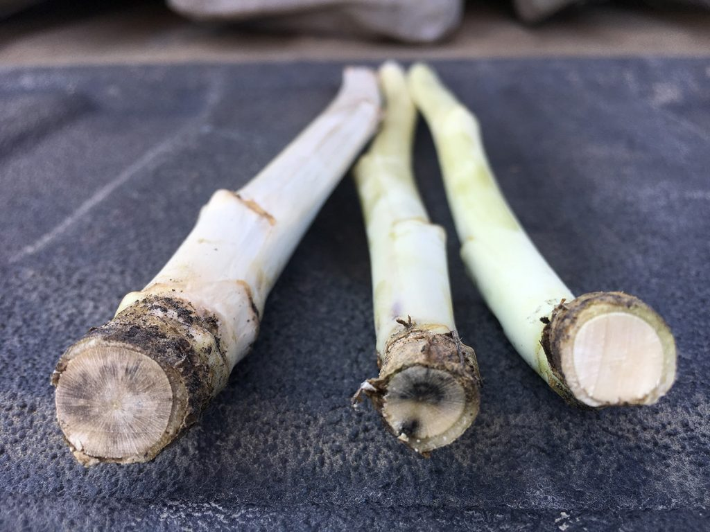 Blackleg and a healthy stem