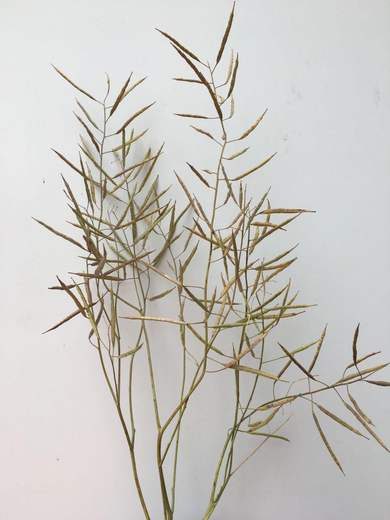 Mature canola plant