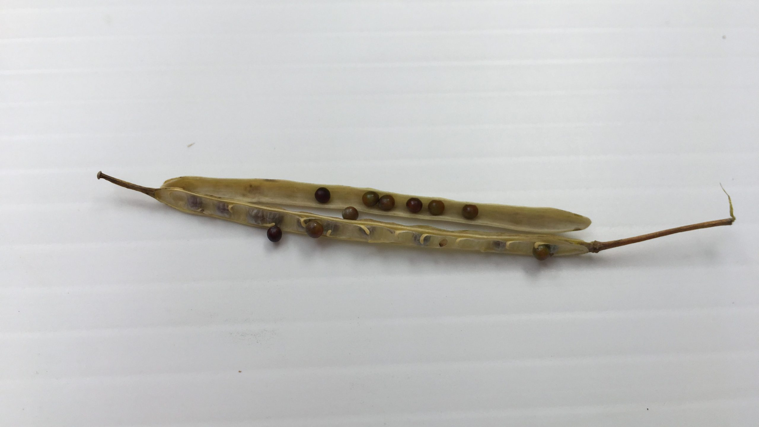 Opened canola pod showing seeds and membrane