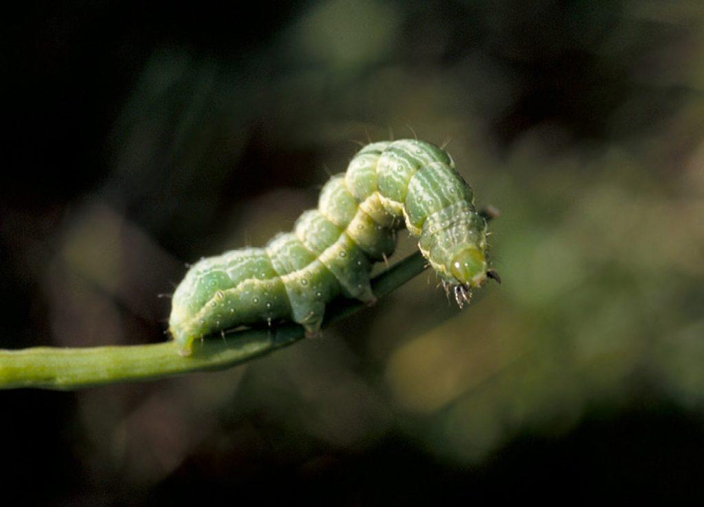 Alfalfa looper larva