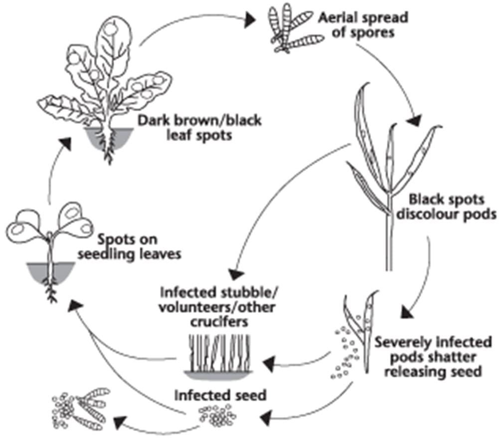 Alternaria disease cycle