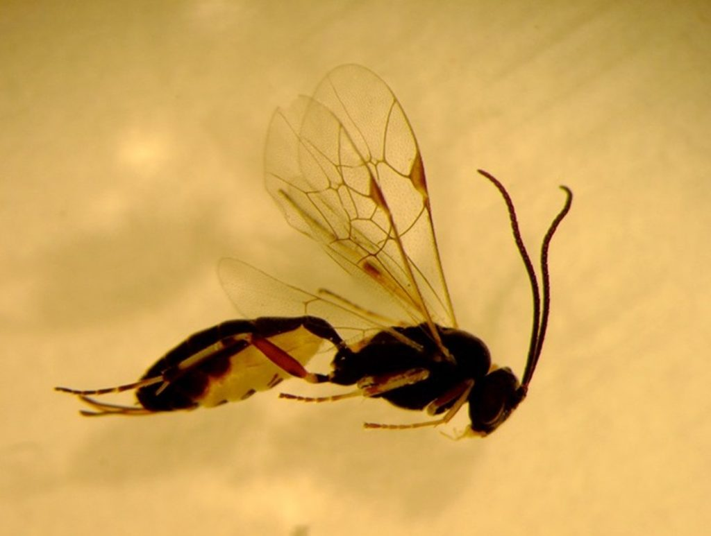 Parasitic wasp (beneficial insect)