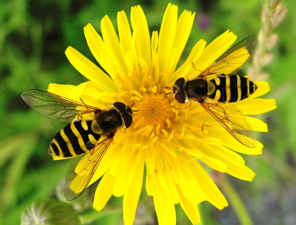 Hover flies (beneficial insect)