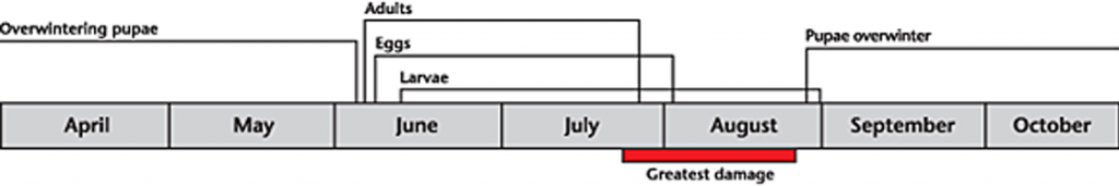 Bertha armyworm life cycle