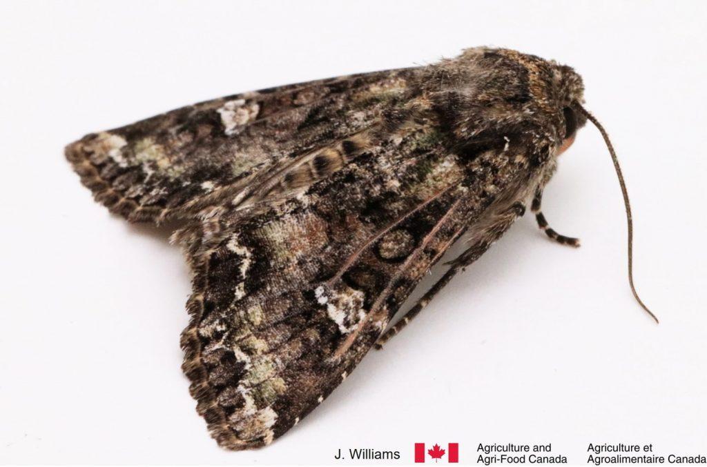 Adult bertha armyworm moth
