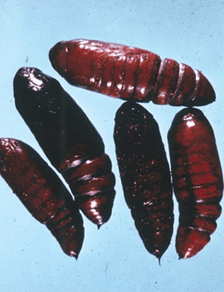 Bertha armyworm pupae