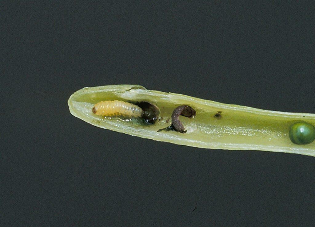 Cabbage seedpod weevil larva