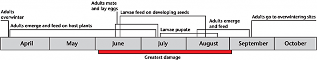 Cabbage seedpod weevil life cycle