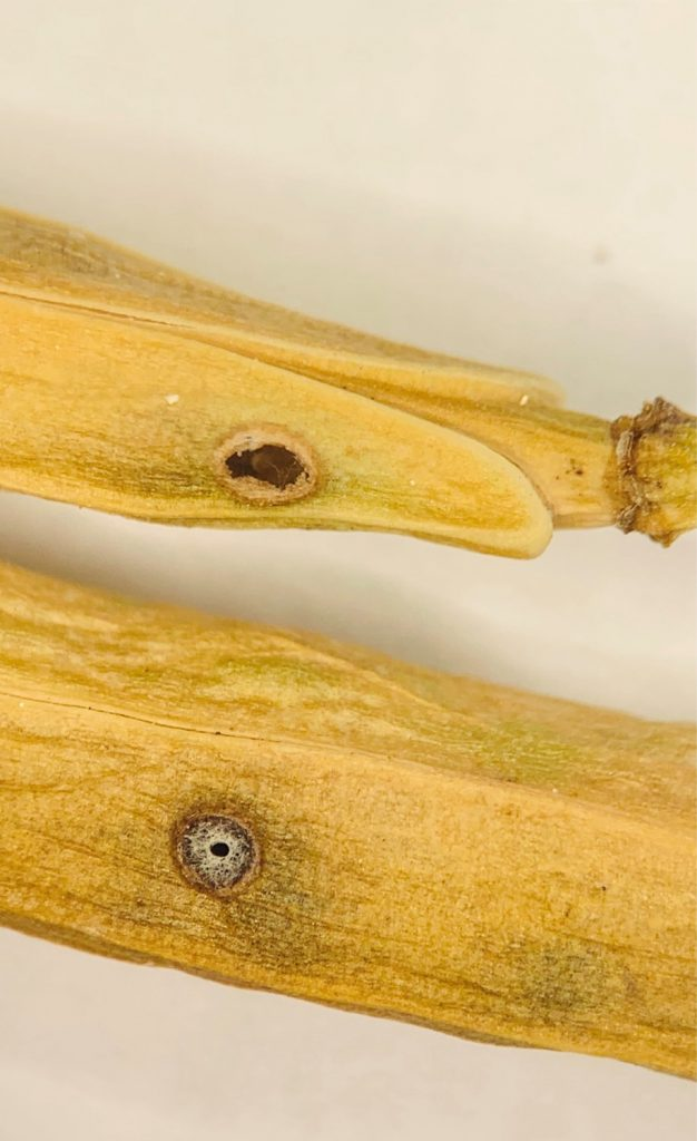 Cabbage seedpod weevil compared to parasitoid exit holes; Photo Credit Piratheepa Jegatheeswaran