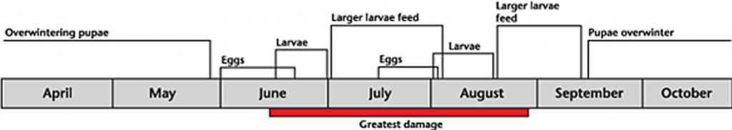 Clover cutworm life cycle