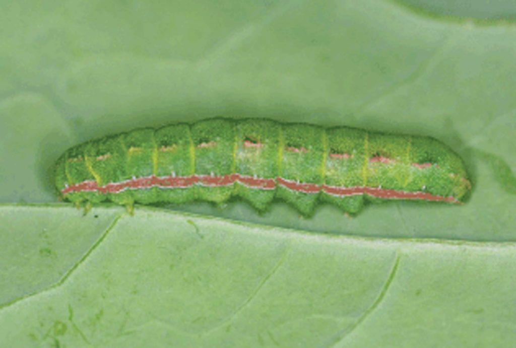 Clover cutworm larva