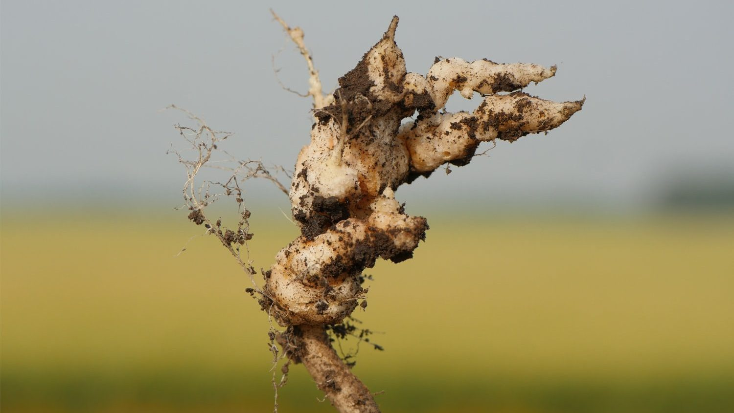 Clubroot | Canola Encyclopedia