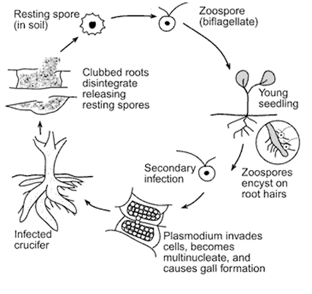 Life cycle of P. brassicae
