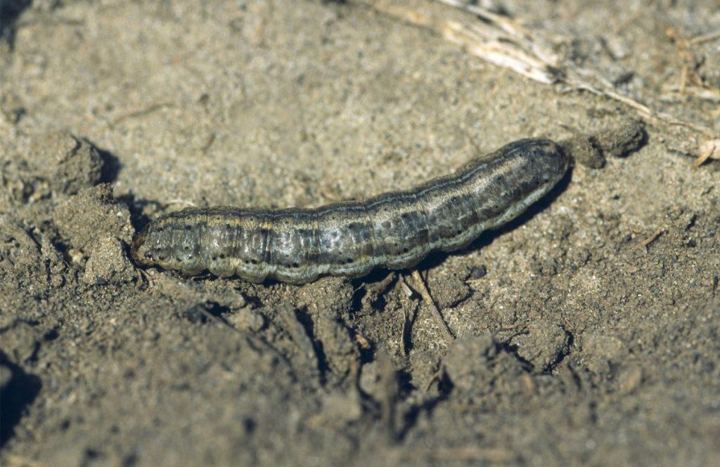 Army cutworm