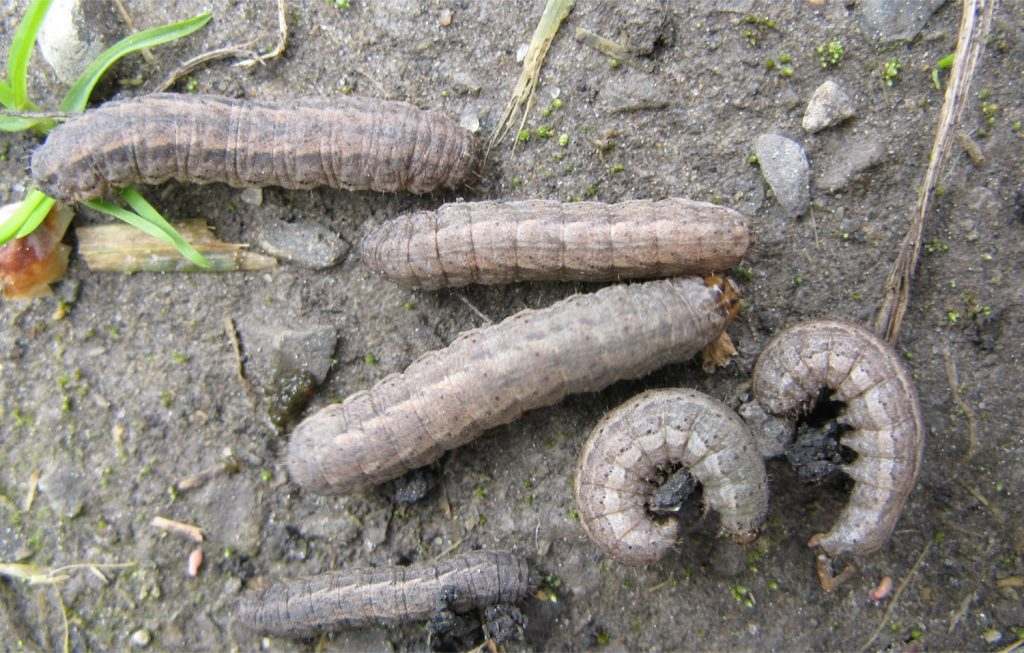 Dingy cutworms