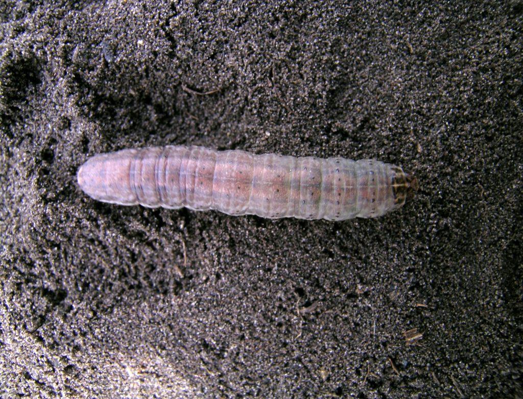 Redbacked cutworm