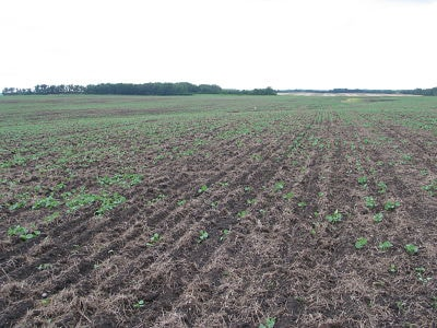 Patch in field caused by cutworms