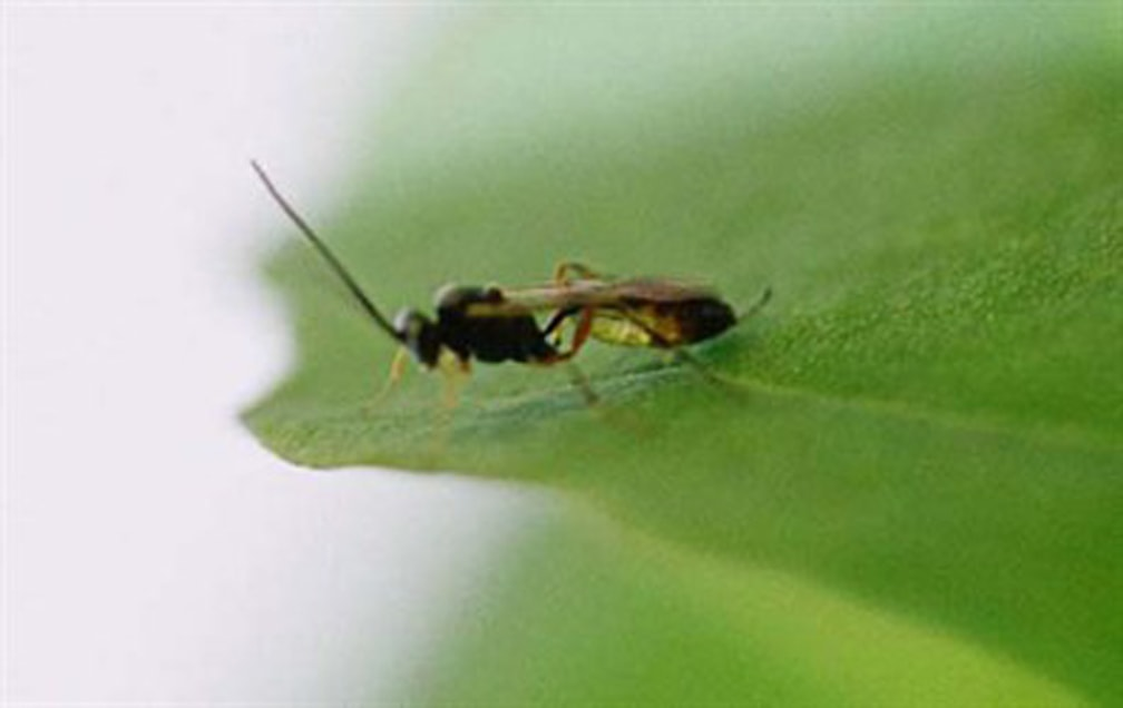 Adult Diadegma insulare (diamondback moth parasitoid)