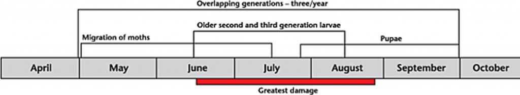 Diamondback life cycle