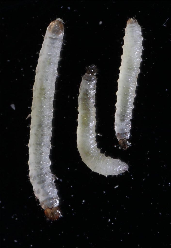 Flea beetle larvae