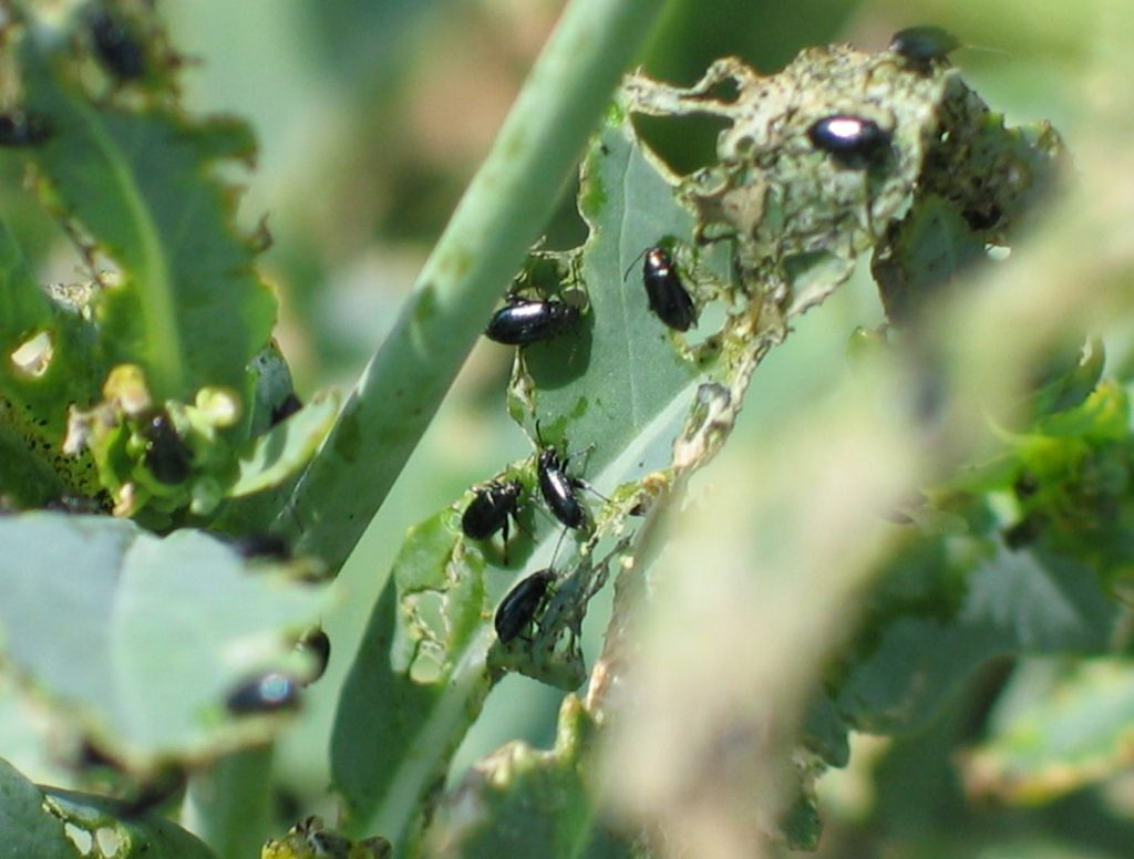 Late season flea beetle feeding