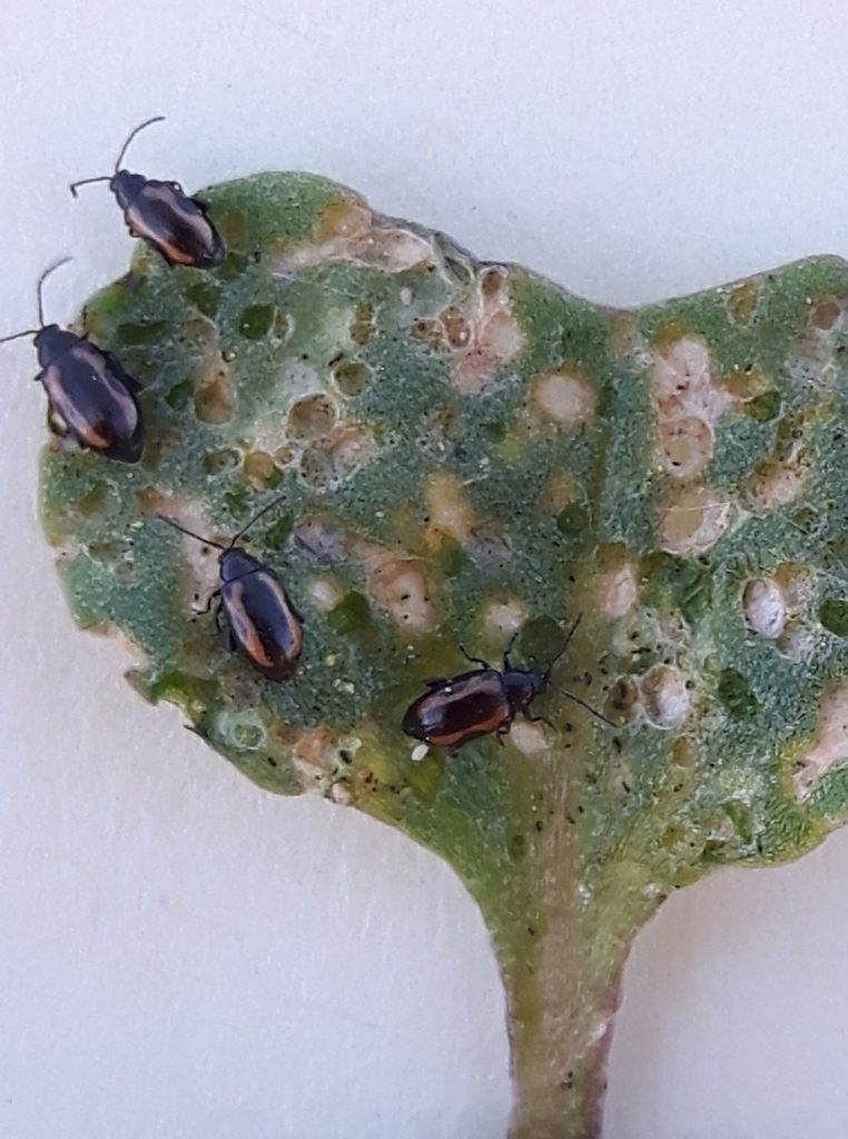 Flea Beetle defoliation