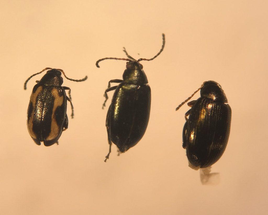 Striped, crucifer and hop flea beetles