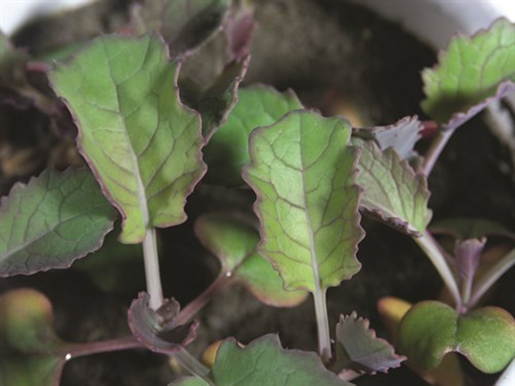 Nutrient deficiencies caused by wet conditions