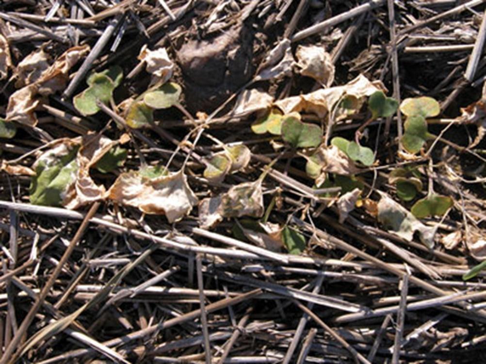 Group 14 herbicide damage