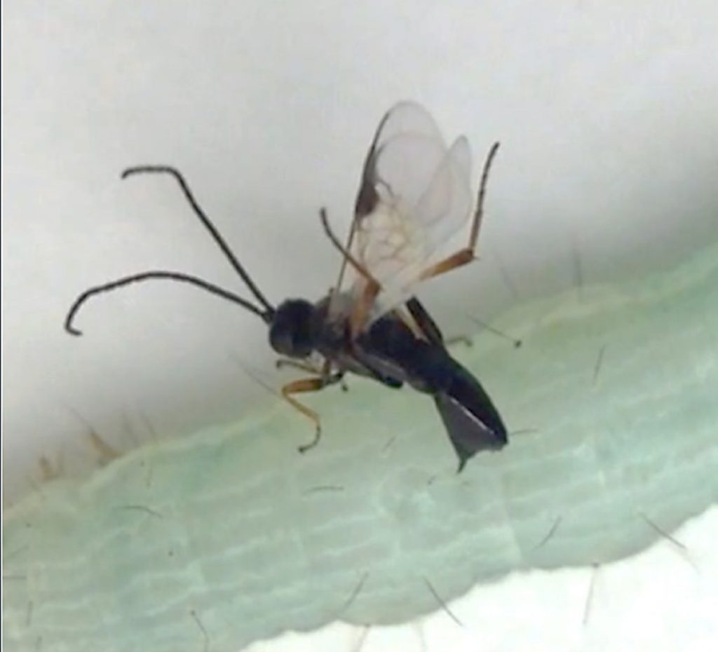 Wasp (beneficial insect) parastising a cabbage looper