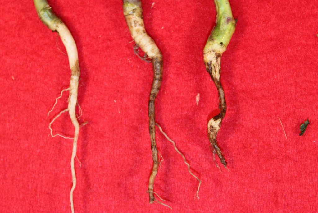 Brown girdling root rot infections
