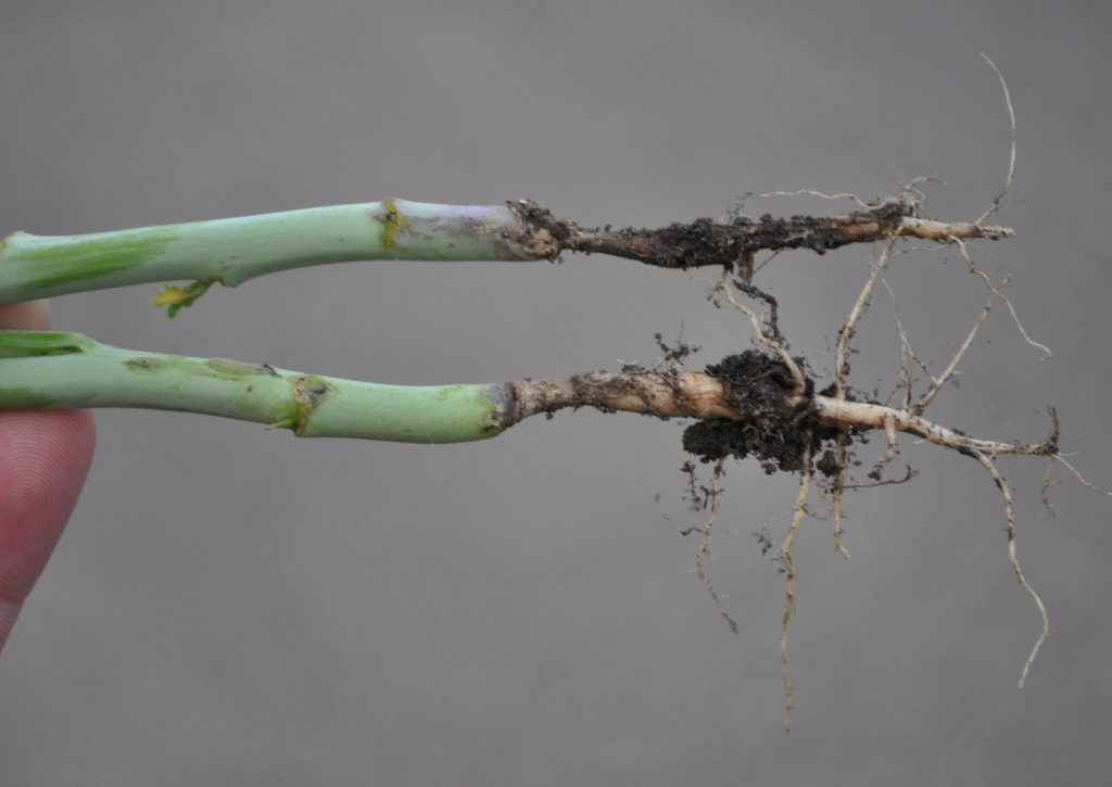 Root rots