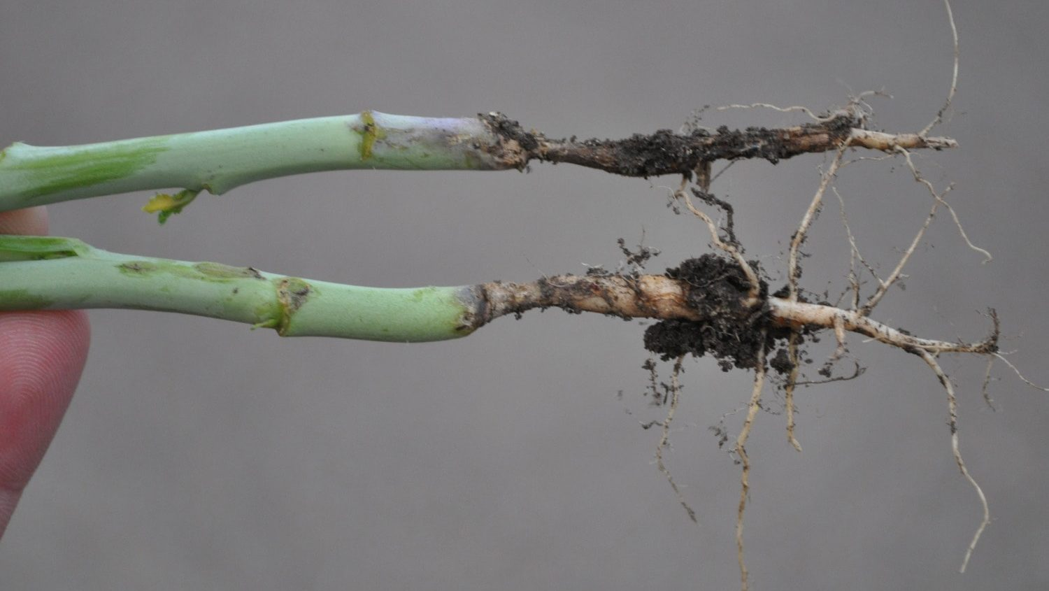 Root rot constriction