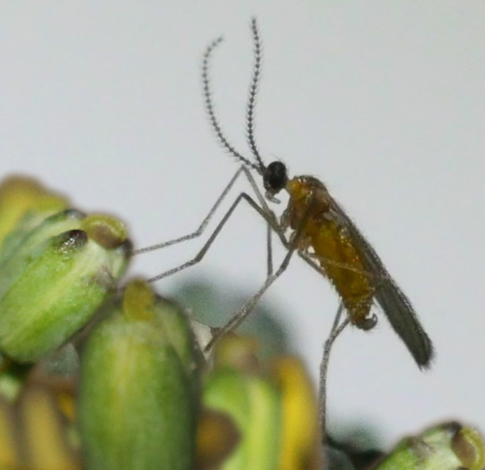Adult male swede midge on canola flower buds