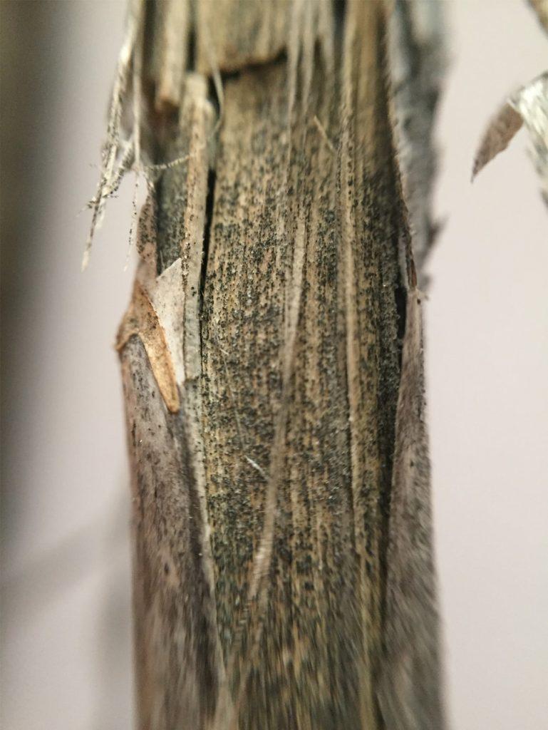 Microscerotia of verticillium stripe