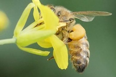 Graphic of bee feeding on canola flowers
