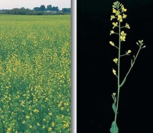Canola at 20% flower. Source: NDSU