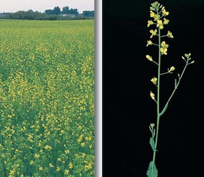 10 20 and 50 flower canola watch free unbiased timely and
