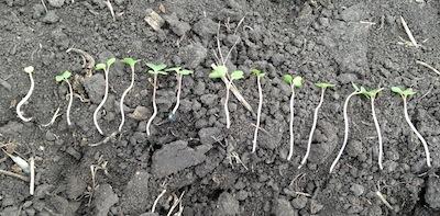 5 mph seeding rate