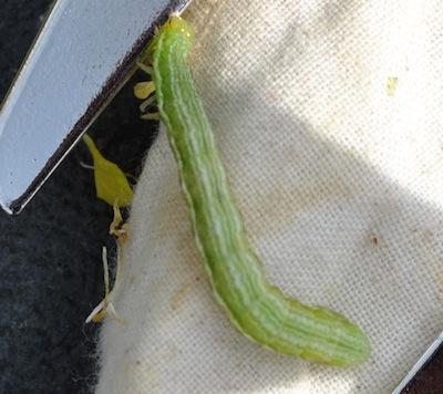 Alfalfa looper cropped