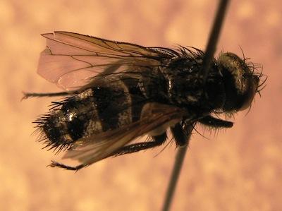"""Athrycia cineria"" attacks later larval stages (3-6) of bertha armyworm. Source: John Gavloski, MAFRD"