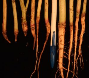 Brown girdling root rot at its most severe will completely pinch off roots. The plant lodges and dies.