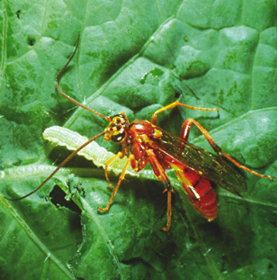Banchus is a parasitoid of bertha armyworm. It can be harmed by unnecessary insecticide sprays. Source: Lloyd Dosdall