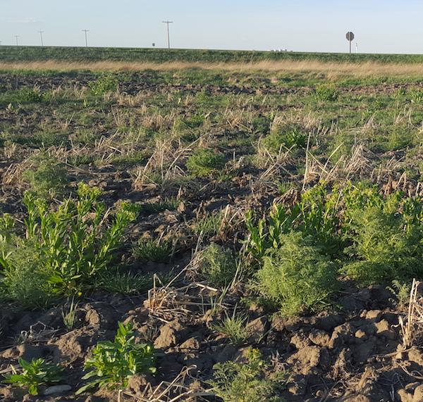 Big weeds. Credit: Autumn Barnes
