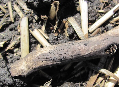 When scouting, also look for blackleg pseudothecia (black spots) on old canola residue, which may still be present on fields with a tight rotation. Source: Holly Derksen, MAFRI