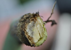 Clipped cross section shows blackleg at the base of the stem. Credit: Clint Jurke