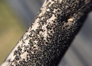Blackleg pseudothecia on stubble pieces. Photo credit: Justine Cornelsen
