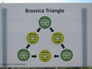 Brassica triangle of U shows how the six major species are connected.